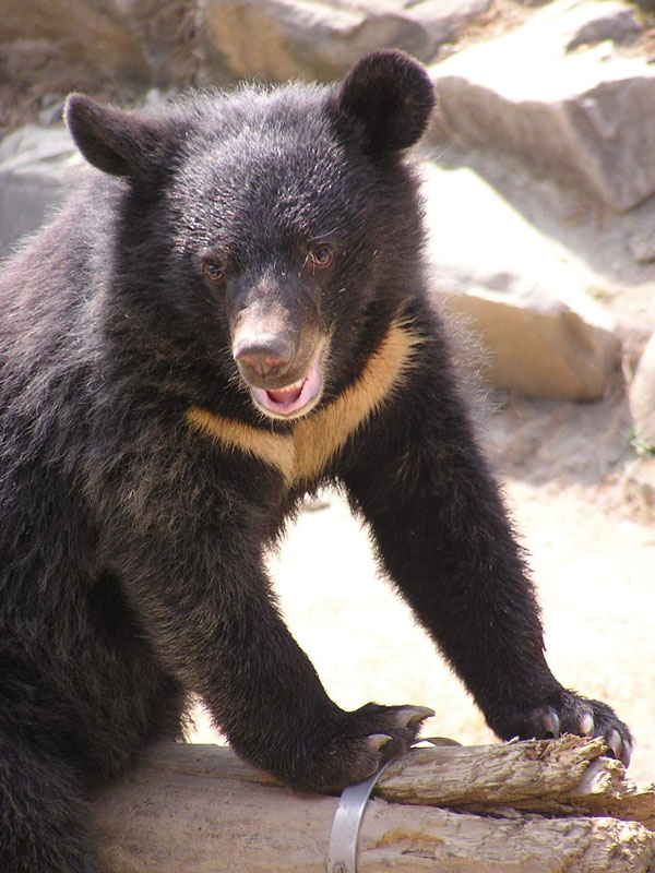The Formosan Black Bear is a resident of Taiwan's great outdoors. (Photo: Wikipedia)